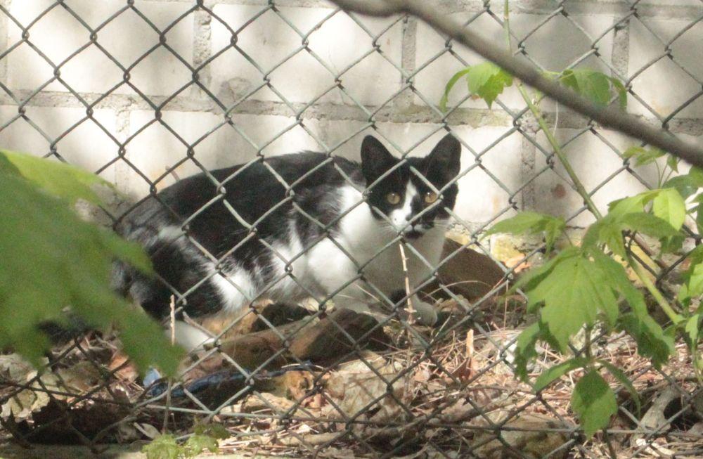 łaciaty kot za siatką