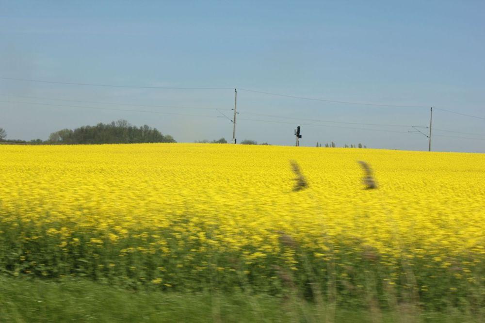 kwitnące pole rzepaku niemcy