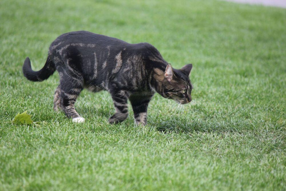 umaszczenie kolory tygrysa kot