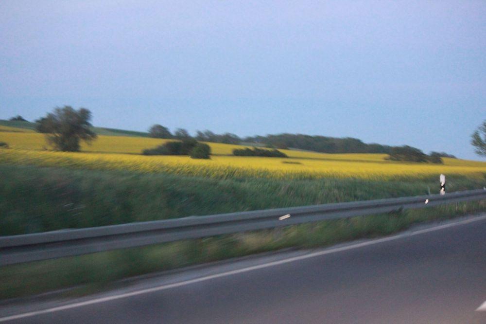 pola rzepaku niemcy żółte kwiatki na polu łące maj wiosną