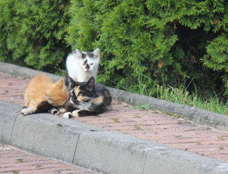 szylkretowa kotka kolor kociaków umaszczenie
