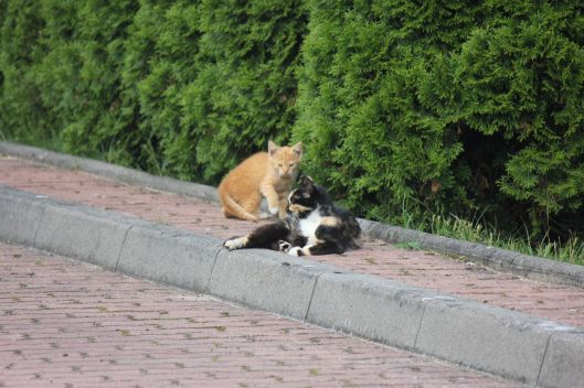 szylkretowa kotka rudy kociak