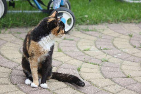 szylkretowy kot czarno, biało rudy