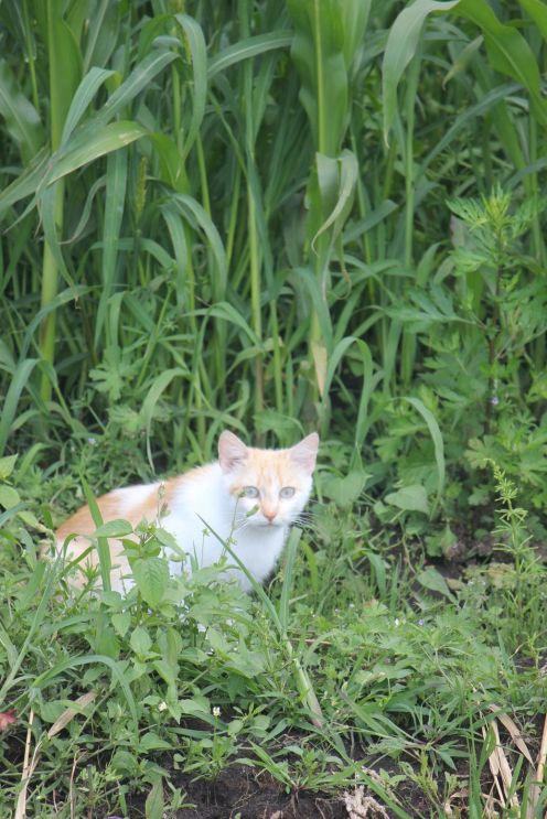 rudo biały kot w kukurydzy