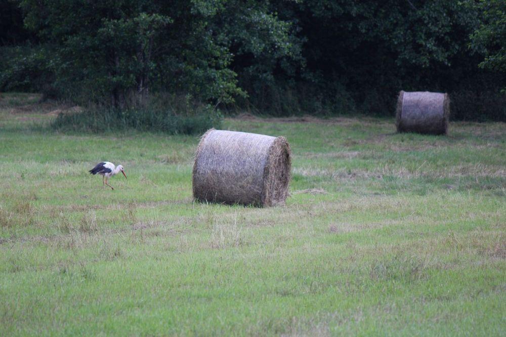 bocian na polu podlasie łąka