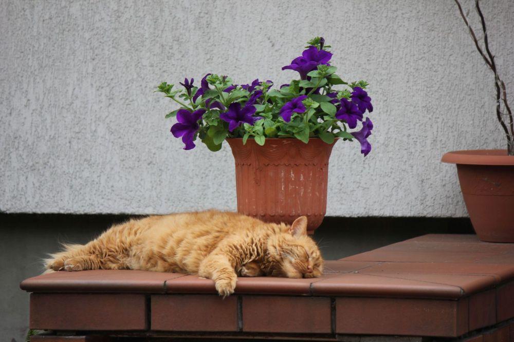 rudy kot śpi długie futro