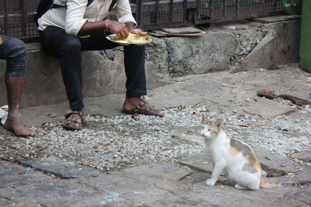 kot_tricolore_kotka_indie_zwyczaje_koty_przesądy